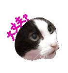 ωマニア用!猫による顔文字スタンプ(個別スタンプ:12)