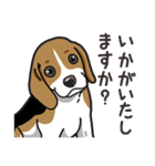 わんこ日和 ビーグル こいぬ vol.4 敬語(個別スタンプ:16)