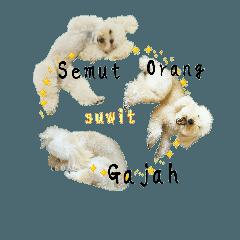 おうちプードルインドネシア語ジャン犬ポン