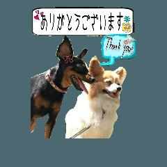 【敬語】パピヨンとミニチュアピンシャー