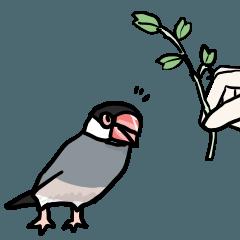 桜文鳥チャッピー第5弾
