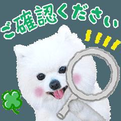 かわいい犬たち♡うるふ家の白ポメ達♡敬語