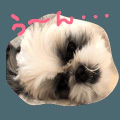 シーズー犬とスマイリーな日々 その1
