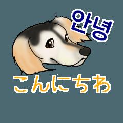 日常会話で韓国語を話すサルーキ