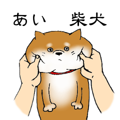 【あい】の柴犬
