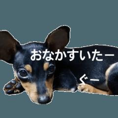 ミニチュアピンシャー ♡ヴェル2♡ミニピン