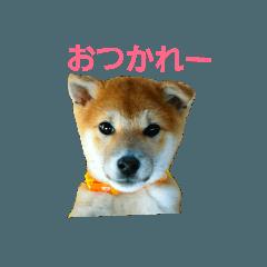 あいさつミニ柴犬