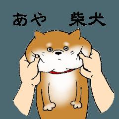 【あや】の柴犬