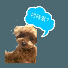 toypoodles's moca2