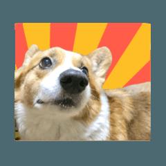 実写版!コーギー犬ミルク