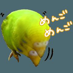インコちゃん【実写】
