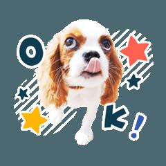 """キャバリア""""うみ""""のスタンプ【子犬編】"""