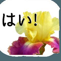 暮らしに花を♪ ジャーマンアイリス