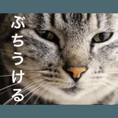 サバトラ猫のコハル☆広島弁